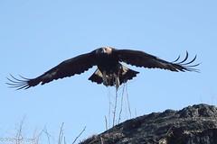 Golden Eagle (mobull_98) Tags: goldeneagle eagle winnipeg manitoba