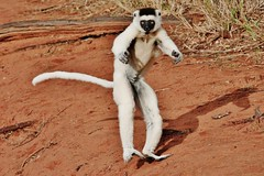 Leaping Lemur - Verreaux's Sifaka Hopping (Susan Roehl) Tags: •madagascar2017 largeislandoffthecoastofafrica lemur verreauxssifaka propithicusverrauxi endemictoisland motherandchild jumping patternoflocomotion 101speciesandsubspecies mediumsized indriidaefamily varietyofhabitats rainforest deciduousdryforests thicksilkyfur longtail arborealexistence smalltroops foursubspecies generally18yearsold sueroehl photographictours naturalexposures panasonic lumixdmcgh4 100400mmlens animal mammal herbivore coth5 ngc