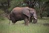 African Elephant (ashockenberry) Tags: elephant africa african animal wildlife wildlifephotography wild wilderness ashleyhockenberryphotography nature naturephotography natural habitat safari savanna grassland tusks ivory pachyderm tanzania tarangire national park beautiful majestic