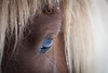 Kveykir, my icelandic horse (NأT) Tags: iceland icelandic islande islandais cheval horse nature animal light day winter snow neige hiver portrait oeil photography photographie regard chevaux horses olympus omd em1 zuiko 40150mm