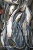 Barrel of blue catfish on the Potomac River near Fort Washington (Remsberg Photos) Tags: boat fish fishing maryland potomac seafood atlantic scales slimy bluecatfish invasivespecies pest predatorfish aquatic ictalurusfurcatus fortwashington usa