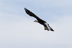 Female Bald Eagle stretches her wings - 19 of 30