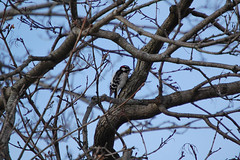 Downy Woodpecker, Picoides pubescens (Austin.Jennings) Tags: downywoodpecker picoidespubescens harford maryland