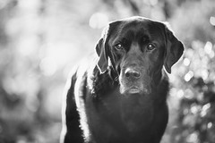 Simply Max. (Marcus Legg) Tags: max pet dog dogs animal black lab labrador retriever blacklabradorretriever bokeh blackandwhite monochrome canon eos woods woodland outdoors outside backlit natural handsome moody mono light atmospheric 1dx