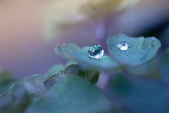 Sony a7 50mm 2.8 macro (Jasrmcf) Tags: ilce7 sel50m28 sony sonya7 sonyimages macro 50mm28macro 50mm dof detail delicate depthoffield smooth blur bokeh bokehgraph bokehlicious raindrops reflection garden nature ngc greatphotographers colourful colourartaward dreamy beautiful haze