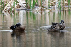 Blue-winged teal trio grooming (j shew) Tags: bluewingedteal huntleymeadow