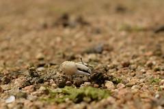 ハクセンシオマネキ (Uca lactea) (Hachimaki123) Tags: 日本 japan 厳島 itsukushima 宮島 miyajima animal crab 動物 カニ シオマネキ ucalactea ハクセンシオマネキ fiddlercrab