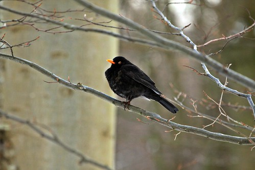 Amsel im Winterwald