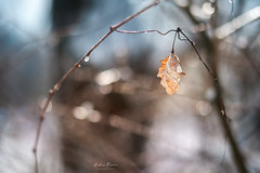 Survivor (Pásztor András) Tags: nature forest leaf winter season plant background natural beautiful tree light environment bokeh park outdoor color beauty bright closeup branch day white texture colorful sunny snow cold yellow brown bokehbackground fresh frost sky leaves golden orange goldenleaf nicebokeh dslr full frame nikon d700 andras pasztor photography 2018 hungary nikkor 50mm f18