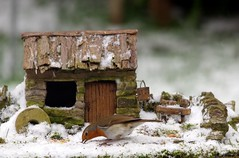 Robin in snow with small house  (4) (Simon Dell Photography) Tags: snow uk sheffield hackenthorpe s12 simon dell photography 2018 minibeastfromtheeast weather nature wildlife birds robin red breast bird cute table design micro garden model cottage house borrower