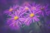 Colours (michel1276) Tags: flowers makro blume macro pflanze vivitar series bokeh bokehlicious manualfocus vintagelens vivitarseries1macro