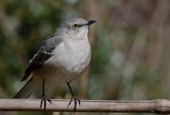 Northern Mockingbird (JDA-Wildlife) Tags: birds nikon nikond7100 tamronsp150600mmf563divc jdawildlife johnny portrait closeup eyecontact mockingbird northernmockingbird wow brilliant gorgeous