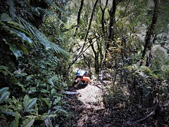 Steep with lots of good holds. (flashmick) Tags: westcoast westland newzealand tramping hiking bushwalk bush vegetation foliage griffin descent march autumn 2018 daywalk