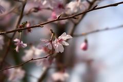 Sakura (kr0nk0) Tags: sakura sony a7riii ilce7rm3 sel100f28gm fe 28100 stf gm oss