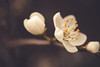 Spring pearl (Chloé +++) Tags: spring floral flower fleur nature naturel outside walking wild 35mm canon macro france occitanie pretty plants pétales blossom yellow white jaune blanc branch branche eos dof depthoffield woods forest forests forêt bois flora light tree trees arbre arbres