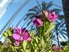 Kreuzblume-milkworts (Anke knipst) Tags: valencia spanien spain blume flower kreuzblume milkworts lila purple lumbacle