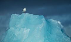 Iceland Gull (Markp33) Tags: