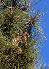 Pining over something (Reloaded) (Gunn Shots.) Tags: redtailedhawk hawk raptor pinecone