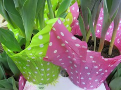 Tuesday Colours - Easter Getting Closer (Pushapoze (NMP)) Tags: tulips pots pois polkadots