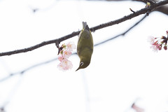 _3188210.jpg (plasticskin2001) Tags: mejiro sakura bird flower