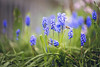 Bee and Grape Hyacinth (GregPierceImages) Tags: bee grape hyacinth spring flower