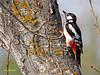 Pico picapinos (Dendrocopos major)  (6) (eb3alfmiguel) Tags: aves pájaros carpintero piciformes picidae pico picapinos dendrocopos major pájaro árbol hierba animal bosque madera