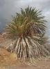 Date Palm (Phoenix dactilifera) (Ron Wolf) Tags: arecaceae deathvalleynationalpark ibexhills nationalpark botanical botany desert nature spring tree california datepalm phoenixdactilifera