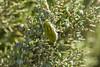 Jewel Beetle (Julodis armeniaca cypria)_w_2187 (Daly Wildlife) Tags: protaras ammochostos cyprus cy jewelbeetle julodisarmeniacacypria insect beetle cyprusendemic mediterranean greenbeetle hairybeetle