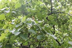 Mallotus polycarpus_SGNP Shilonda2 (Alka Khare) Tags: mallotus euphorbiaceae