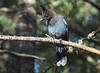 Steller's Jay -- 1st-year (Cyanocitta stelleri); Santa Fe National Forest; NM Thompson Ridge [Lou Feltz] (deserttoad) Tags: nature newmexico mountain forest bird wildbird jay behavior nationalforest