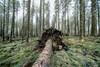 Bellever Forest - Dartmoor (pm69photography.uk) Tags: belleverforest bellever dartmoor devon southwest sony spooky sonya7rii voigtlander voigtlanderheliarf56 voigtlanderheliar10mmf56 wideangle ultrawide trees tree woods a7rii atmospheric aurorahdr2018 atmosphere a7r2