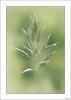 El inquilino (V- strom) Tags: macrophotography macro verde green insecto insect espiga spike texturas textures nikon nikon105mm nikond700 vstrom