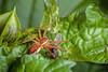 How Do You Like Them Apples (of Peru)? - _TNY_2268 (Calle Söderberg) Tags: macro canon canon5dmkii canoneos5dmarkii canonef100mmf28usmmacro raynox dcr250 flash meike mk300 glassdiffusor spider insect buggylunch bugsonbugs pisauridae dolomedes fimbriatus kärrspindel raftspider spiderweb spindelnät spindel catch prey predator lunch ballongblomma nicandra physalodes appleofperu shooflyplant solanales solanaceae f19