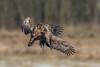 Flying Sea Eagle (eric-d at gmx.net) Tags: seaeagle adler eagle seeadler eric wildlife