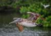 Low Pass Pelican #1 (tclaud2002) Tags: pelican bird wildlife flight fly flying wings nature mothernature stickmarsh fellsmere florida usa
