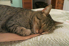 Key West (Florida) Trip 2017 7527Ri 4x6 (edgarandron - Busy!) Tags: coco cat cats kitty kitties tabby tabbies cute feline florida keys floridakeys keywest authorsofkeywest