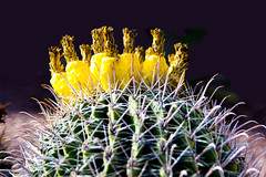 Blooming Cactus, Pineapples on Top (aaronrhawkins) Tags: cactus bloom flower spring desert tucson arizona spike needle stick bright yellow fruit barrel macro closeup trip aaronhawkins