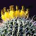 Blooming Cactus, Pineapples on Top