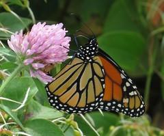 Monarch on clover (HeidiG71) Tags: 7dwf macro monarch butterfly insect danausplexippus nature wildlife capemaypointstatepark newjersey