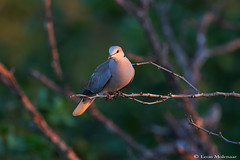 Cape Turtle-dove (leendert3) Tags: leonmolenaar southafrica krugernationalpark wildlife nature birds capeturtledove ngc coth5
