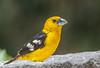 Golden Grosbeak (Pheucticus chrysogaster) (NigelJE) Tags: quito pichincha ecuador ec goldengrosbeak pheucticuschrysogaster pheucticus grosbeak goldenbelliedgrosbeak southernyellowgrosbeak cardinalidae cardinal nigelje sanjorgeecolodges