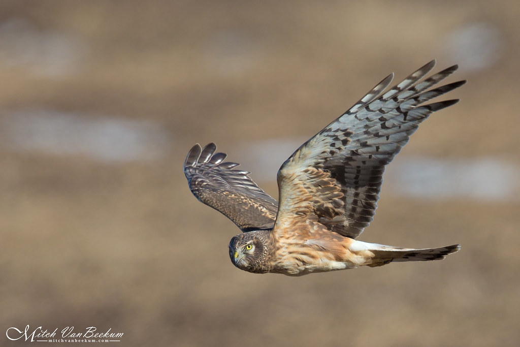 Eye Contact (Female Northern Harrier)