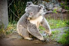 A Rare Sighting (helenehoffman) Tags: conservationstatusvulnerable herbivore nature mammal australia sandiegozoo koala arboreal animal eucalyptus phascolarctoscinereus marsupial