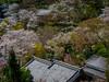 The Hasedera in spring (HarQ Photography) Tags: zhongyioptics speedmaster85mmf12 fujifilm fujifilmxseries gfx50s japan nara cherryblossom spring temple