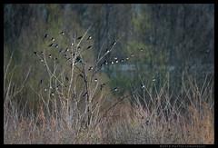 L'albero delle meraviglie (Teone!) Tags: hirundorustica marcon gaggio venezia venice rondine sosta birdwatching barnswallow