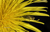 macromondays (stevenbailey7) Tags: bee bees insects closeup yellow colour new light plants nikon flower flowers wildflowers nature wildlife macromondays art garden spring tamron colourful taraxacum asteraceae herbaceousplants taprooted