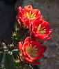 Claret-cup cactus in the Cactus & Succulent Gardens, Tucson Botanical Gardens (Distraction Limited) Tags: tucsonbotanicalgardens tucsonbotanical botanicalgardens gardens tucson arizona echinocereustriglochidiatus kingcupcactus claretcupcactus mojavemoundcactus hedgehogcactus cactus flowers cactusandsucculentgardens cactussucculentgardens backlight backlighting tbg20180330