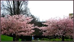 Vancouver Canada, Cherry Blossom Trees (> Pinoy) Tags: cherryblossomtree tree trees blooms blooming bloomers spring springinvancouver vancouvercanada typesoftrees pinks pink pinkflower scenery cannon canonphotography canonpowershot canadain canadianparks bestimages thecherryblossomtrees green greens pairs beautifulbritishcolumbia britishcolumbia