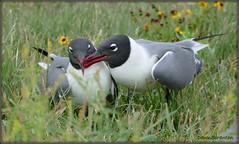 P1360061  Laughing Gulls (felicitydawn) Tags: gulls spring laughinggull