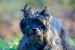 2018.04.12.8930 Brunhilde (Brunswick Forge) Tags: 2018 brunhilde brunie brewster dog dogs doggy doggies animal animals animalportraits cairn terrier virginia d500 tamron150600mm spring grouped favorited littlebits commented